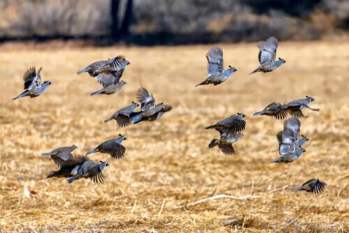 Quaglie: razze e caratteristiche di questi piccoli uccelli viaggiatori