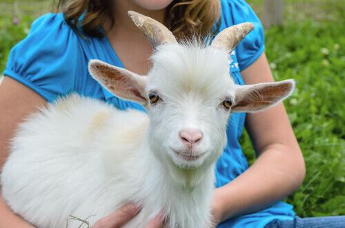 La capra pigmea: un animale adorabile da tenere in casa