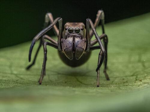 Un ragno nero che sembra una formica.