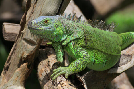 Iguana su ramo.