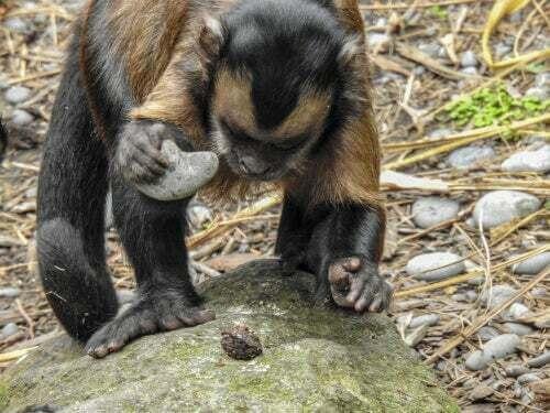 Scimmia con una pietra in mano.