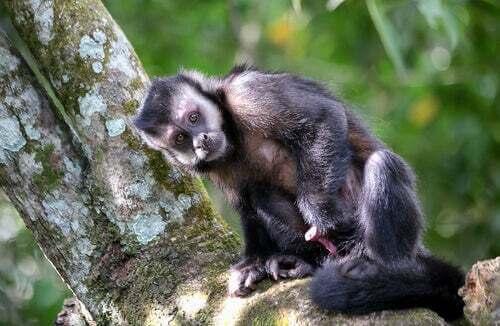 Le scimmie che usano gli utensili da 3000 anni