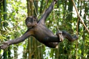 Specie di scimpanzé estinto.