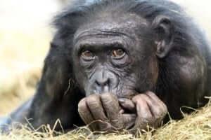 Volto di scimpanzé.