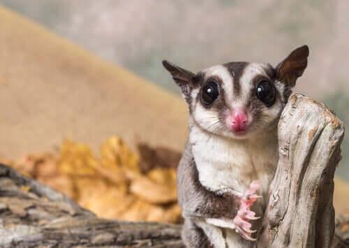 Lo scoiattolo volante, uno dei mammiferi più bizzarri al mondo