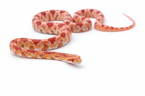 Pantherophis guttatus. Serpente del grano.