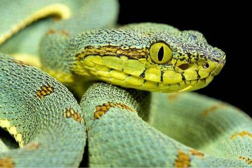 Serpente verde.