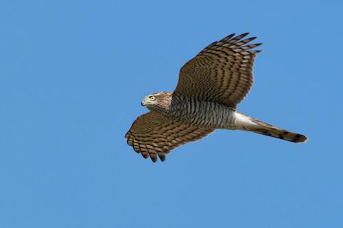 Accipiter nisus in volo.