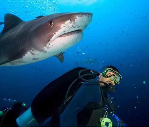Squalo che nuota vicino ad un sub. Squali e razze rischiano l'estinzione.