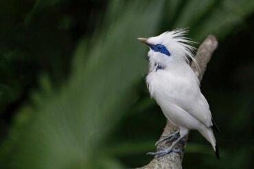 Storno di Bali: un bellissimo uccello a rischio di estinzione