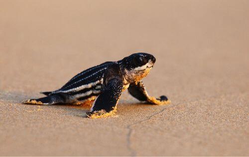 Perché i piccoli di tartaruga liuto perdono l'orientamento?