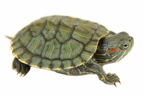 Rettili vietati. Tartaruga palustre americana.