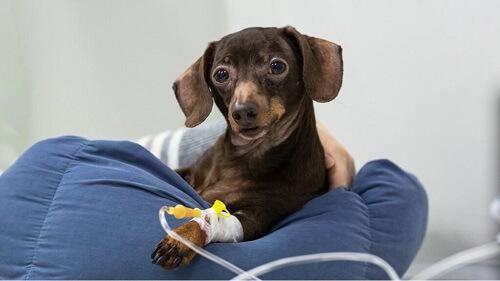 La terapia endovenosa negli animali e le sue possibili complicanze