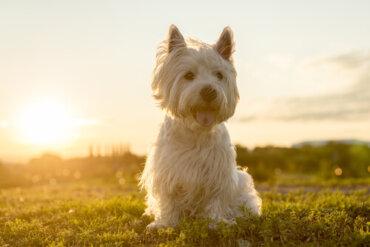 Il Terrier bianco degli altipiani dell'ovest