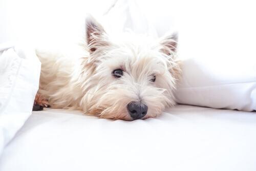 West Highland White Terrier sdraiato sul divano.