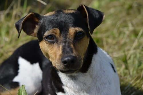Terrier brasileiro: origini e caratteristiche