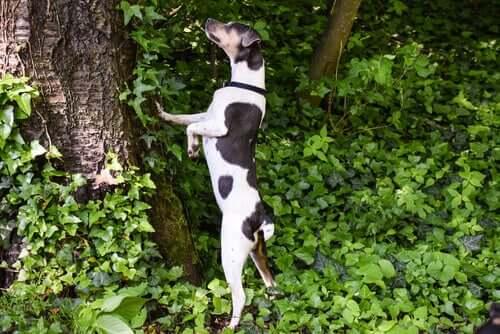 Terrier brasileiro che si arrampica su un albero.