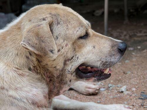Tipi di dermatite nei cani.