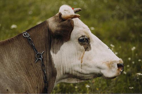 La tristezza bovina: di cosa si tratta?