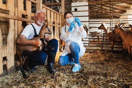 Veterinario che vaccina una capra insieme ad un allevatore.