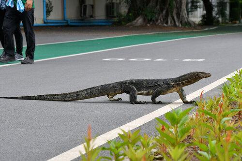 Varano che attraversa la strada.