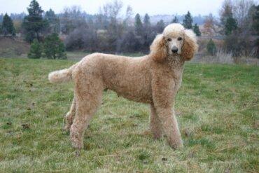 Le 4 varietà di cane Poodle o barbone