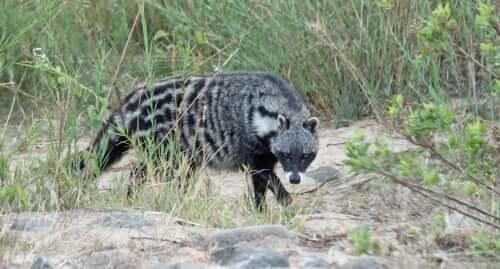 Zibetto africano: caratteristiche di un carnivoro poco noto
