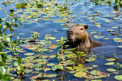 Capibara che vive in una zona umida.