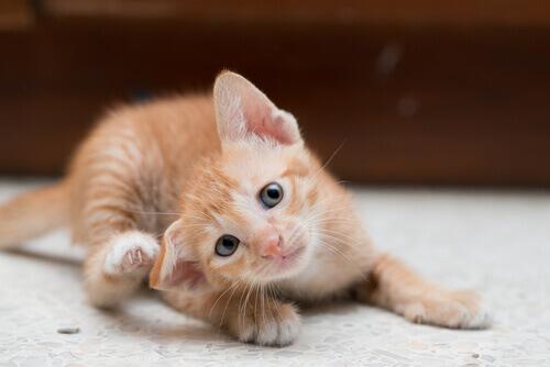 Gattino che si gratta l'orecchio a causa di un'allergia.