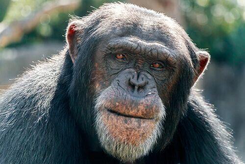 Alzheimer negli animali, i primati.