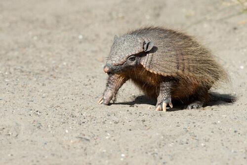 Scopriamo le caratteristiche dell'armadillo peloso andino