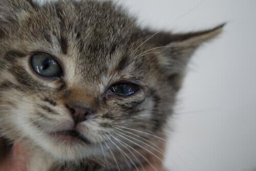 La blefarite nei gatti: sintomi e trattamento