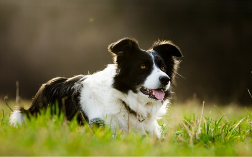 Il Border collie una razza di cane nervosa.