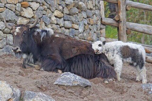 Yak con il suo cucciolo dentro un recinto.