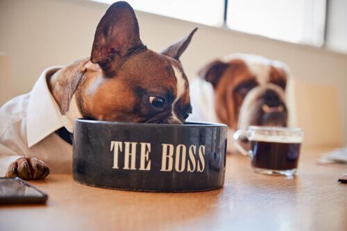 Bulldog francese: 6 consigli per la sua alimentazione