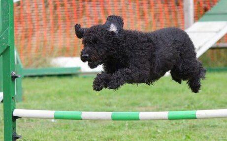 Giochi interattivi: cane che salta un ostacolo.