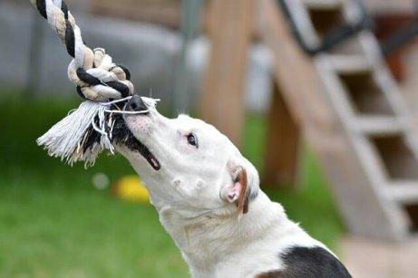 Giochi interattivi: cane che tira la corda.