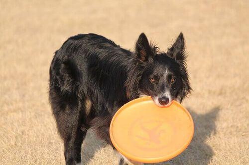 Il frisbee è tra i giochi all'aria aperta da fare con il cane.