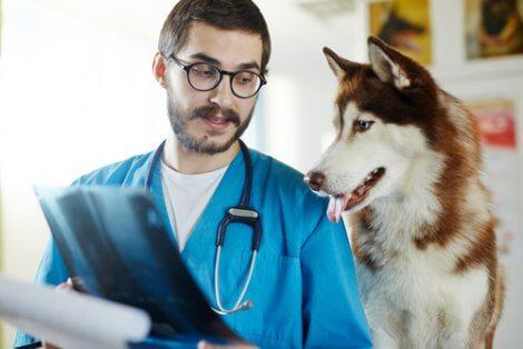 Paralisi laringea nei cani: cane dal veterinario.