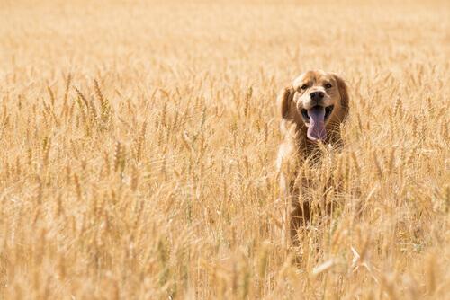 Glutine nel cibo per cani: quando bisogna fare attenzione