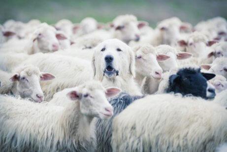 Riconoscere la razza di un cane: cane in un gregge di pecore.