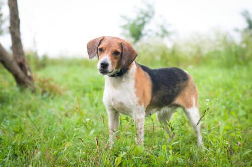 Un cane da caccia estone.