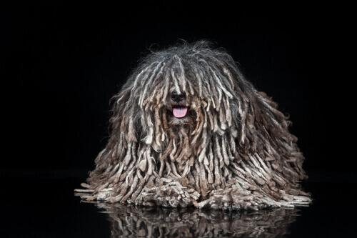 Come si formano le acconciature rasta nei cani?