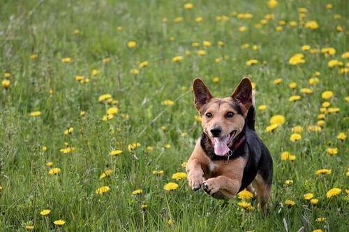 Giochi all'aria aperta, cane che corre in campagna.