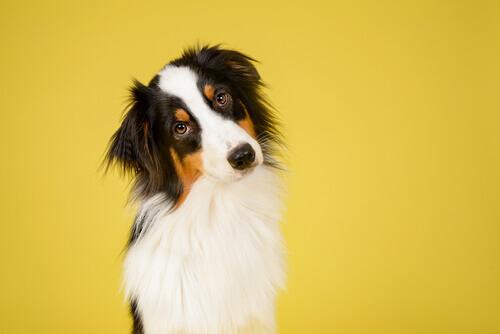 Come si può riconoscere la razza di un cane?