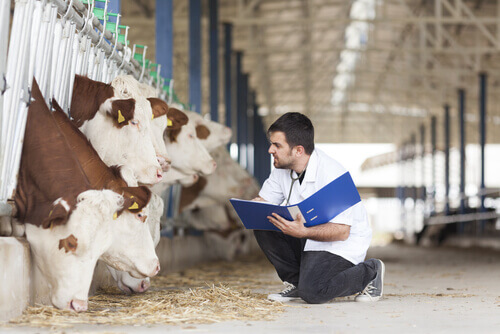 Veterinario che controlla lo stato di salute delle vacche da latte di un allevamento di bestiame.