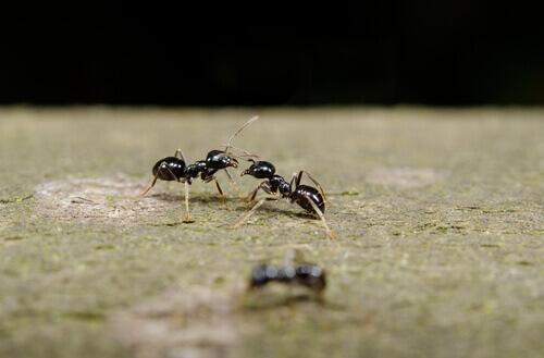 Formica che comunica con un'altra formica attraverso il contatto delle antenne.