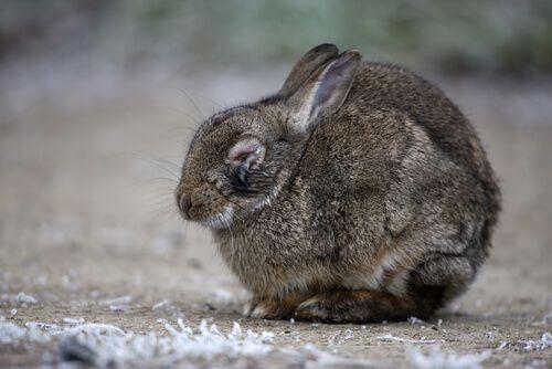 Coniglio affetto da mixomatosi.