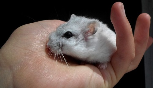 Animale domestico più intelligente. Criceto grigio.