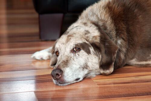 La sindrome di Cushing nei cani: diagnosi e trattamenti